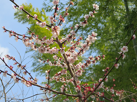 東京で桜開花