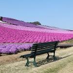 芝桜 スマートフォン・PC背景画像