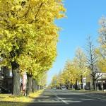 八王子の銀杏(いちょう)並木