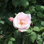 東武トレジャーガーデンのバラが見頃