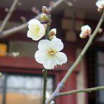 日枝神社の梅が開花