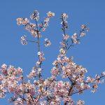 早咲きの桜が満開
