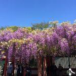 日枝神社の藤が見頃