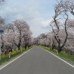 城ヶ谷堤の桜