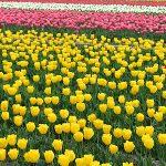 40万本のチューリップが咲く 羽村チューリップまつり
