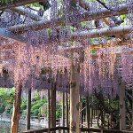 久伊豆神社(越谷)の藤と龍 [5/13更新]